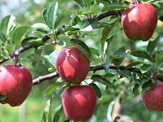 apples-on-a-tree